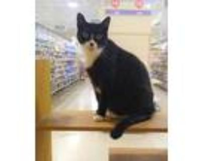 Adopt Buddy a All Black Domestic Shorthair / Domestic Shorthair / Mixed cat in