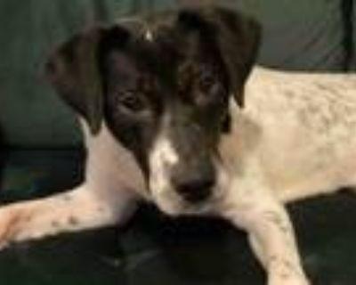 Adopt PERDITA a Labrador Retriever, Collie