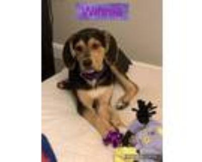 Adopt Winnie a Coonhound, Rottweiler