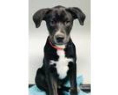 Adopt Kreme a Black Labrador Retriever / Mixed dog in Rio Rancho, NM (32010879)