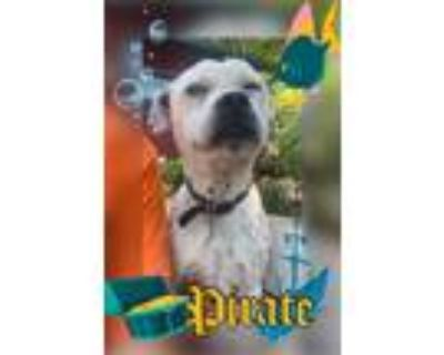 Adopt Pirate a White - with Black Boxer / Jack Russell Terrier / Mixed dog in El