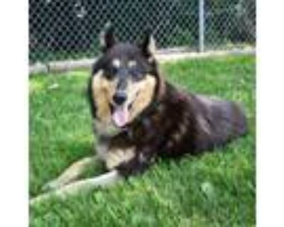 Adopt Violet a Collie, Mixed Breed
