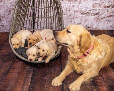 OFA English Golden Retriever Puppies
