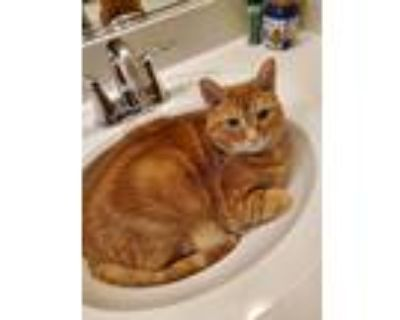 Adopt Simba a Orange or Red Tabby American Shorthair / Mixed (short coat) cat in