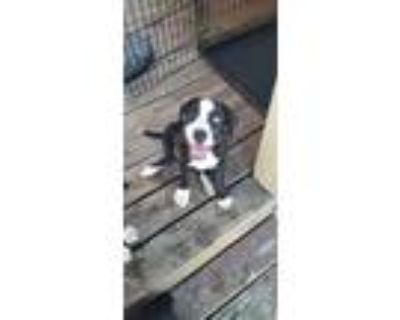 Adopt Puppy A a Pit Bull Terrier / Husky / Mixed dog in Morgantown