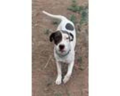 Adopt Bailey a Chocolate Labrador Retriever