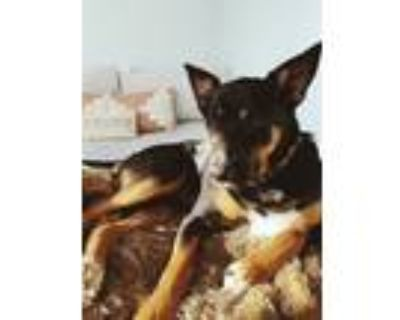 Adopt Lobo a Black - with White Doberman Pinscher / Husky / Mixed dog in