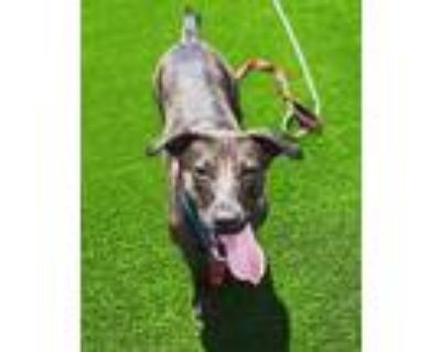 Adopt Chevy a Brown/Chocolate Labrador Retriever / Mixed dog in DOWNERS GROVE