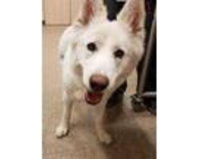Adopt KISKA a White Husky / German Shepherd Dog / Mixed dog in Albuquerque
