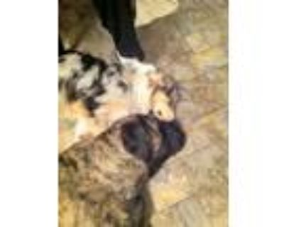 Adopt Charlie a Black - with Tan, Yellow or Fawn Australian Shepherd / Mixed dog