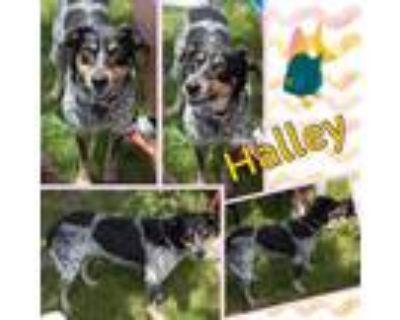 Adopt Halley a Australian Cattle Dog / Blue Heeler