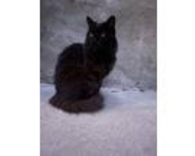 Adopt Mister Moonshine a All Black Maine Coon / Mixed (long coat) cat in Los