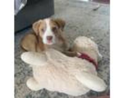 Adopt Eyebright a Brown/Chocolate - with White Pit Bull Terrier dog in