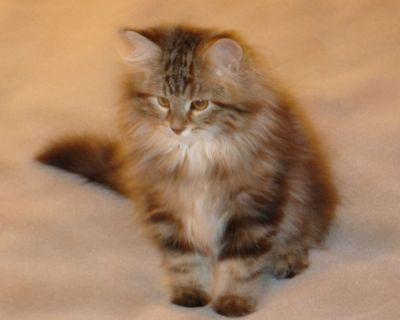 SIBERIAN CAT/KITTEN