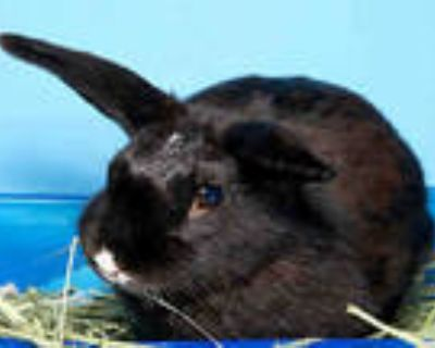 Adopt WALLABY a Black Other/Unknown / Mixed rabbit in Alameda, CA (31978591)
