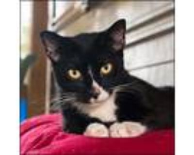Adopt Checkers a Black & White or Tuxedo American Shorthair / Mixed (short coat)