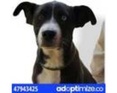 Adopt 47943425 a Brown/Chocolate Retriever (Unknown Type) / Mixed dog in El