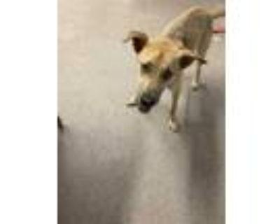 Adopt 47997702 a Tan/Yellow/Fawn Labrador Retriever / Husky / Mixed dog in