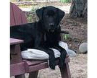 Indigo, Labrador Retriever For Adoption In San Francisco, California