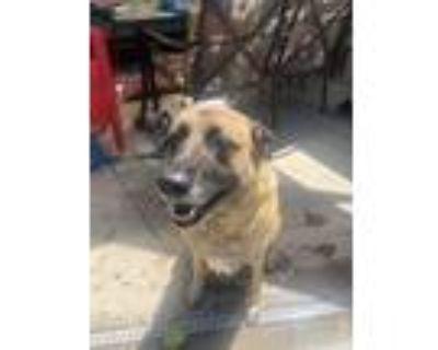Adopt Kai a Merle German Shepherd Dog / Labrador Retriever / Mixed dog in