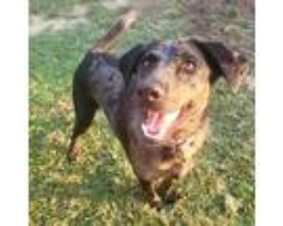 Adopt Angel a Brown/Chocolate Catahoula Leopard Dog / Mixed dog in Shreveport