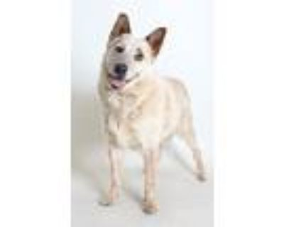 Adopt Freckles a White - with Tan, Yellow or Fawn Blue Heeler / Mixed dog in