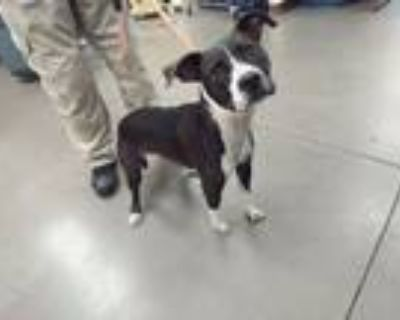 Adopt OLIVIA a Pit Bull Terrier, Mixed Breed
