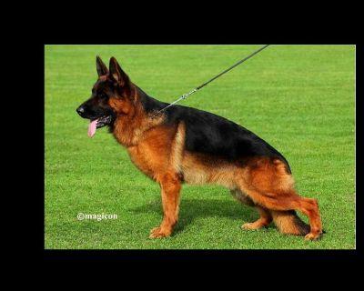 German Shepherd Puppies German Import Champion Line