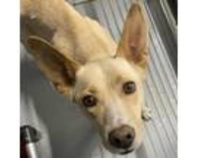 Adopt Daisy a Tan/Yellow/Fawn Labrador Retriever / Shepherd (Unknown Type) dog