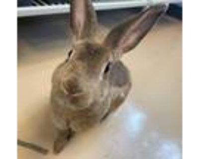 Adopt Bet a Chocolate Other/Unknown / Other/Unknown / Mixed rabbit in Chamblee