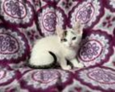 Adopt Cottontail a Domestic Short Hair
