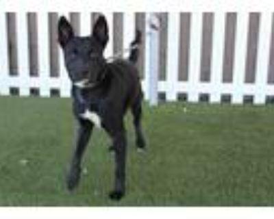 Adopt A554341 a Border Collie, Labrador Retriever