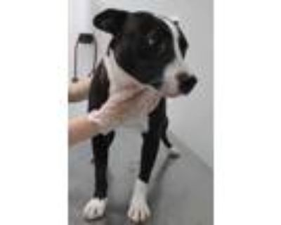 Adopt Evelin a Pit Bull Terrier, Mixed Breed