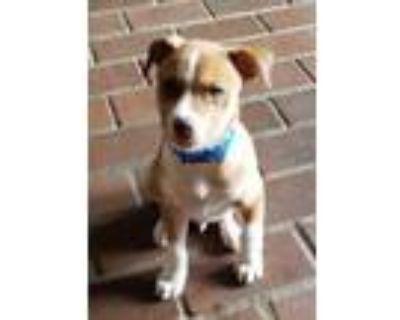 Adopt Bo a Black Labrador Retriever / Mixed dog in Carrollton, TX (32040762)
