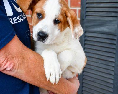 Kenji 11501 - Cattle Dog, Australian (Red Heeler)/Mix - Puppy Male