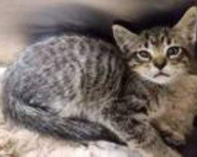 Adopt Snorkel a Brown or Chocolate Domestic Shorthair / Domestic Shorthair /
