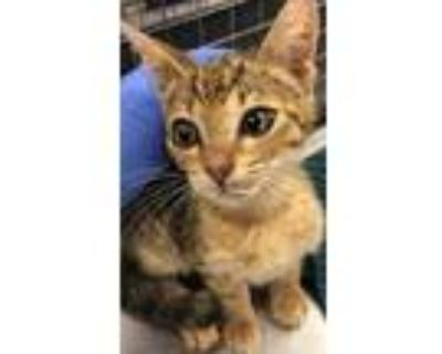 Adopt Spin Doctor a Domestic Short Hair