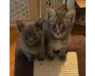 Adopt General a Gray or Blue Domestic Shorthair / Mixed cat in Newport News