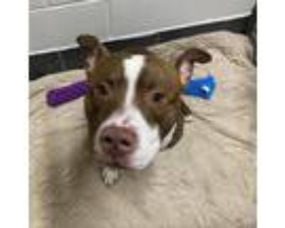 Adopt Remi a White - with Tan, Yellow or Fawn Pit Bull Terrier / Mixed dog in