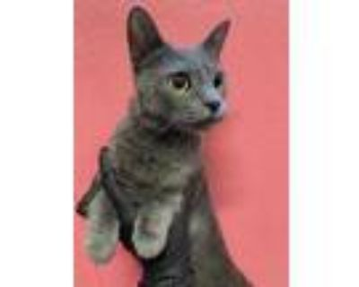 Adopt PIPER GRAY a Gray or Blue Domestic Shorthair / Mixed (short coat) cat in