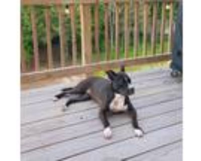 Adopt Kimmy a Brown/Chocolate - with Black American Pit Bull Terrier / French