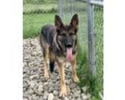 Adopt Baby Girl a Brown/Chocolate Shepherd (Unknown Type) / Mixed dog in