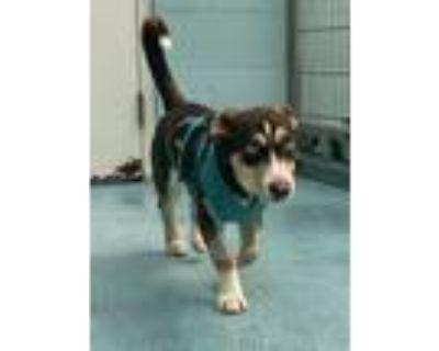Adopt TESSA DOG a Siberian Husky, Cardigan Welsh Corgi