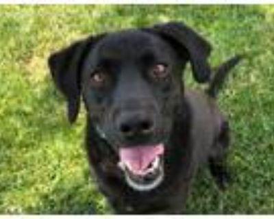 Adopt Roxy a Black Labrador Retriever / Mixed dog in Boulder, CO (31638630)