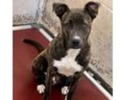 Adopt Simi Juggling a Brindle Pit Bull Terrier / Mixed dog in Mission