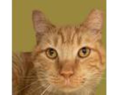 Adopt Stirling a Domestic Short Hair