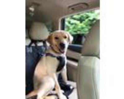 Adopt Jax a Tan/Yellow/Fawn Labrador Retriever / Mixed dog in Atlanta