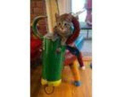 Adopt Zoya a Domestic Longhair / Mixed (short coat) cat in Hampton