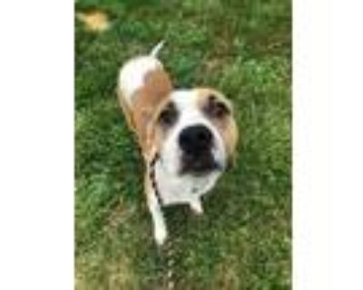 Adopt Sundance a Tan/Yellow/Fawn American Pit Bull Terrier / Mixed dog in