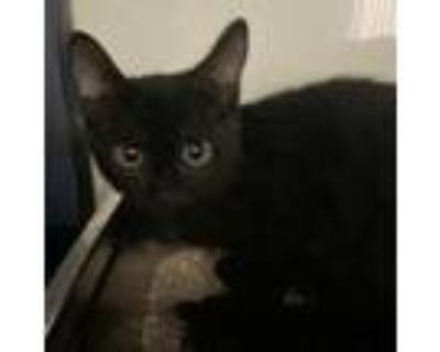 Adopt Harrison a All Black Domestic Shorthair / Mixed cat in North Hollywood